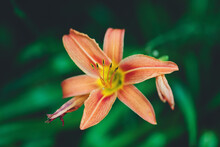 Macro Catch Of Wild Orange Lily Flower In Bloom