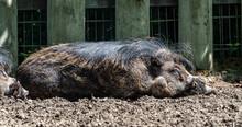 The Visayan Warty Pig, Sus Ceb...