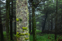 Moss And Lichen Growing On A Fraser Fir Trunk In Rain And Fog On Mount Mitchell