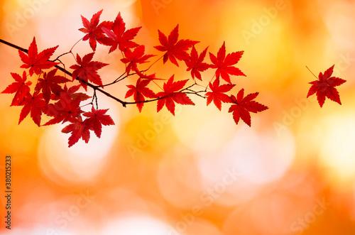 モミジの紅葉 Fotobehang