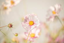 Delicate Flowers Of Pink Daisy...