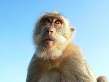 Portrait Of A Monkey On A Blue...