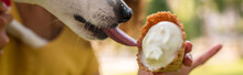 Horizontal Image Of Jack Russell Terrier Dog Licking Tasty Ice Cream