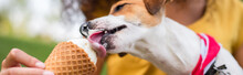 Panoramic Crop Of Jack Russell Terrier Dog Eating Ice Cream