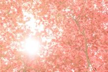 Sun Shining Through Pink Foliage