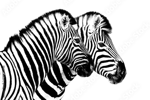 Zebras on white background isolated close up side view, two zebra head portrait in profile, black and white art photography, striped animal pattern design, african wildlife nature monochrome wallpaper