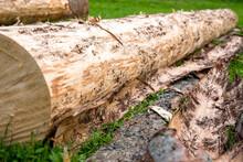 Bark Beetle Infested Wood Trun...