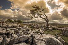 Lone Tree On A Limestone Pavem...