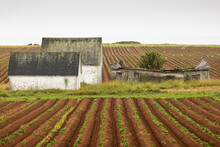 Old Barns And Decaying Building With Rows Of Plants Growing On Sustainable Local Farm