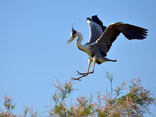 Grey Heron (Ardea Cinerea) Arriving At The Top Of A Tamarix Tree In The Camargue Is A Natural Region Located South Of Arles, France, Between The Mediterranean Sea And The Two Arms Of The Rhône Delta