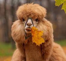 A Ginger Alpaca Chews On A Yel...