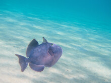 Blue Triggerfish Fish Swimming...