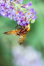 Lilac Buddleja Flower With Bee...