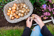 canvas print picture - Autumn planting of spring flowering flower bulbs.