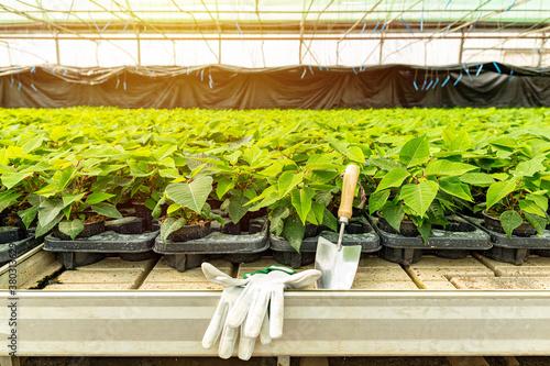 Poinsettia growing in pots Fototapete