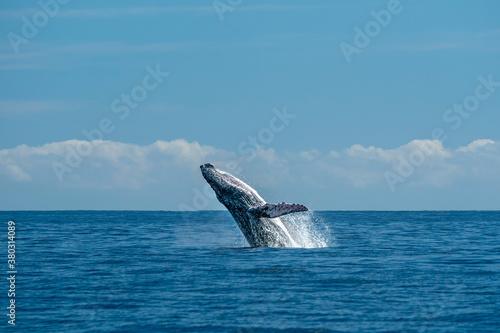 Fototapeta humpback whale breaching in cabo san lucas pacific ocean obraz