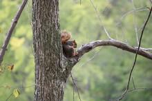Grey Fox Squirrel Eating Lunch
