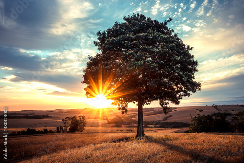 Fototapeta Sunset over the field and a lonely tree obraz