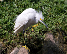 Snowy Egret Stock Photos. Image. Portrait. Picture. Beautiful White Fluffy Feathers Plumage. Standing On Moss Rock. Foliage Background. Scratching Beak.
