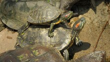 Red Eared Slider Turtles Ridin...