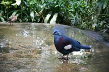 Western Crowned Pigeon (goura ...