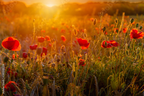 Valokuva The Sun setting on a field of poppies in the countryside, Jutland, Denmark