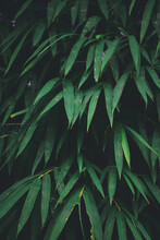 Bamboo Leaves In The Morning S...
