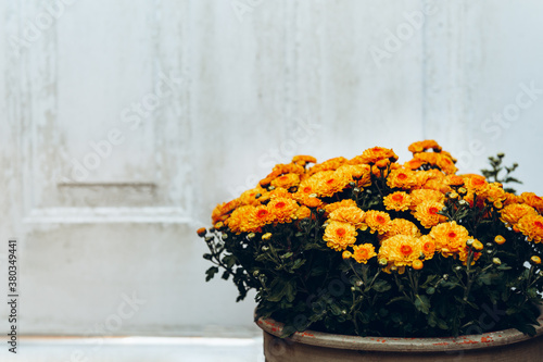 Fotografie, Obraz Orange chrysanthemum flowers