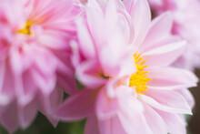Studio Shot Of Pink Dahlias In...