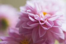 Studio Shot Of Pink Dahlia In ...