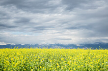 Scenic View Of Canola Field