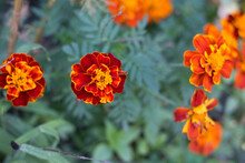 Bright Orange Marigold Flowers...