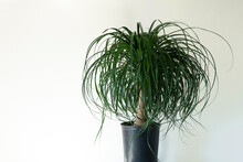 Clean Interior With Stand And Ponytail Palm Plant On Empty White Wall Background For Text