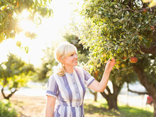 Woman Picking Apples In Orchard