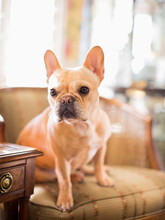 Portrait Of French Bulldog Sit...