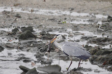 Heron Hunts A Rat