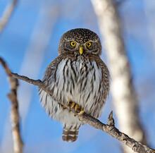 Portrait Of A Northern Pygmy Owl