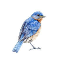 Western Blue Bird Watercolor Illustration. Hand Drawn North America Wild Song Bird Sialia Mexicana. Bluebird Close Up Side View Image Isolated On White Background. Beautiful Wildlife Animal