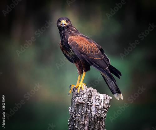 Fotografía red tailed hawk