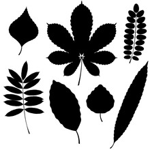 Vector Collection Of Leaf Silhouettes Isolated On White Background. Beech And Poplar Leaves.