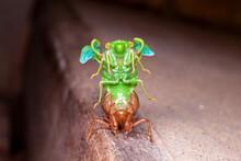 Cicada Molting Exuvia Emerging Shell