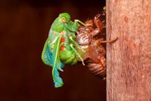 Cicada Molting Exuvia Emerging...