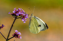 Large White Butterfly. The Lar...