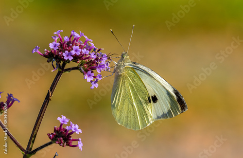 Large White Butterfly. The Large White butterfly (Pieris brassicae) is the largest of our white butterflies in the United Kingdom.