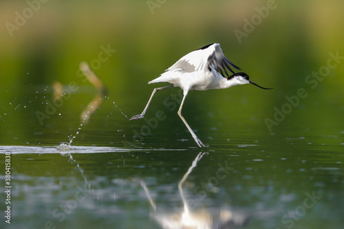 Stampa su Tela Close-up photo of a rare wader with a long thin beak curved upwards