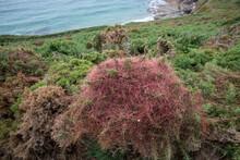 Devils Guts Cuscuta, Dodder, Parasitic Plant. Creeper Plant