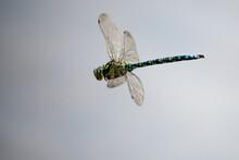 Macro Dragonfly In Flight Over...