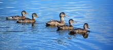 Mallard Or Wild Duck Mother An...