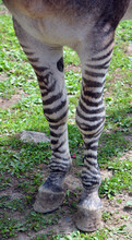 Legs Of Zebroid Is The Offspring Of Any Cross Between A Zebra And Any Other Equine To Create A Hybrid