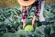 Woman picking cabbage vegetable at field